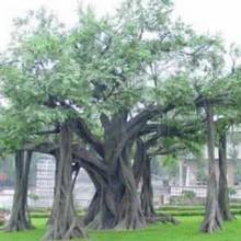 供甘肃张掖仿真树和兰州仿真发财树详情